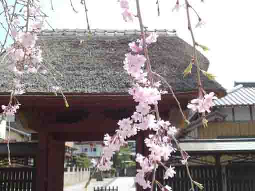 the weeping cherry tree and the gate