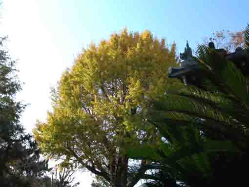 a ginko tree in the blue sky