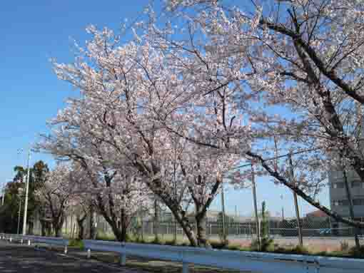 cherry blossoms beside the tennis court