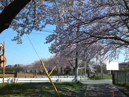 cherry trees in front of the field