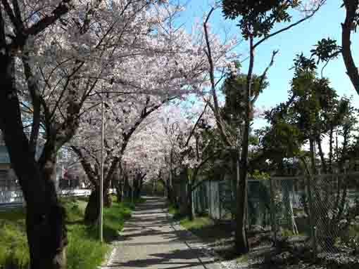 cherry trees beside HIgashi High School