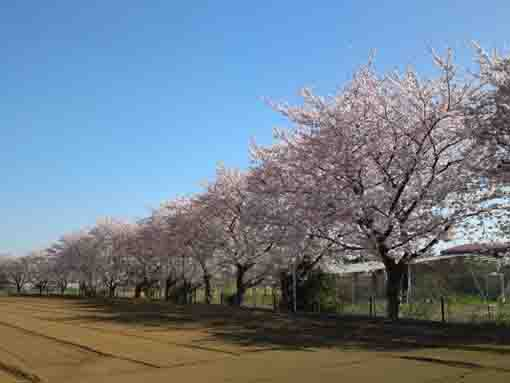 cherry blossoms on the fields