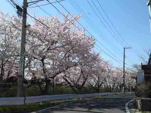 cherry blossoms to the high school