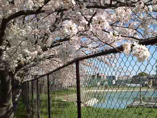 fully blooming cherry blossoms by the pond