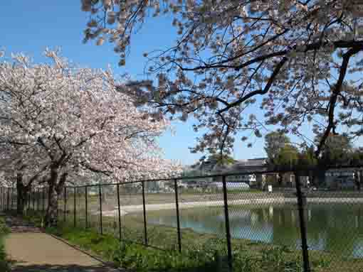 cherry blossoms by the pond