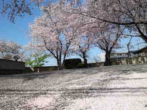 cherry blossoms scattered on the park