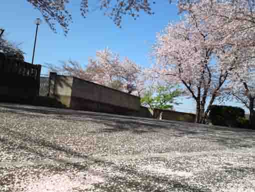 cherry blossoms in Myoshoji