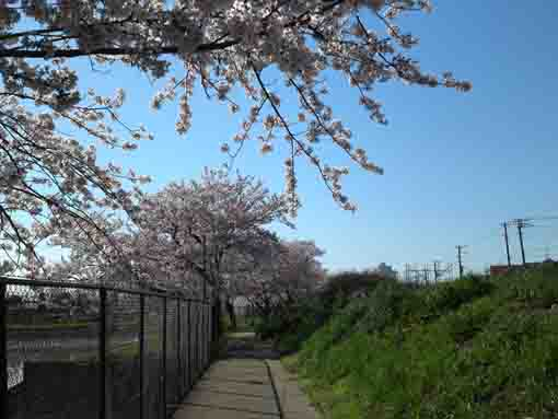 a lined cherry trees in fields