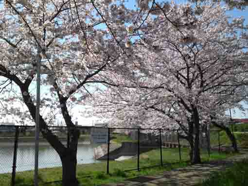 cherry blossoms, a pond and the sky
