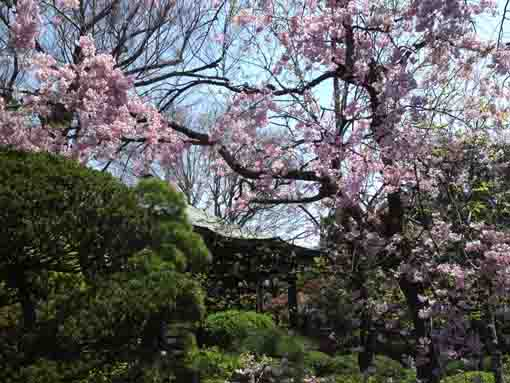 the weeping cherry blossoms in Myoshoji