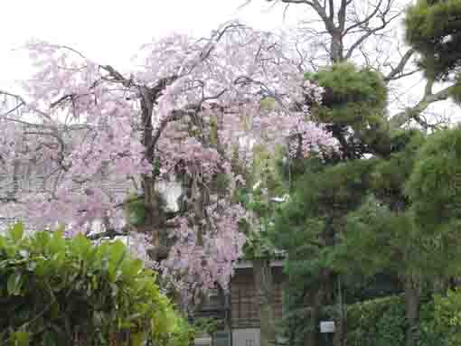 the weeping cherry tree in the back yard