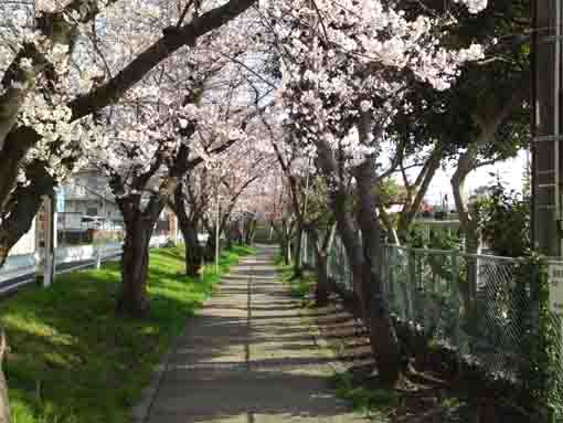 a narrow road covered by cherry blossoms