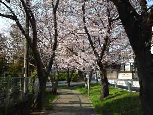 a tunnel of cherry blossoms to the school
