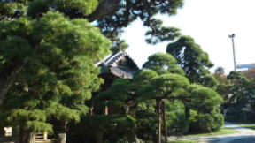 the pine trees at Myogyoji