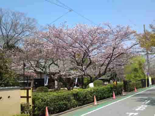 cherry blossoms over the Nagayamon gate