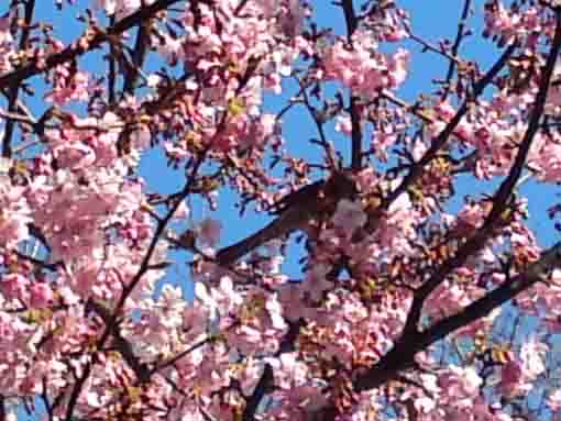 a bird in cherry blossoms