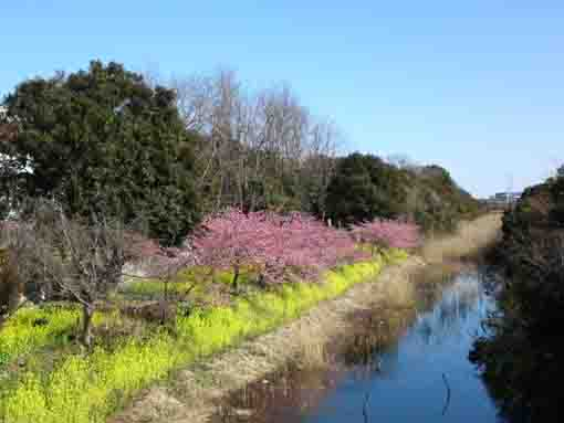 Kawazu Zakura along the river