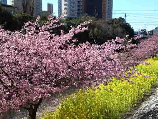 full blooming Kawazu Zakura
