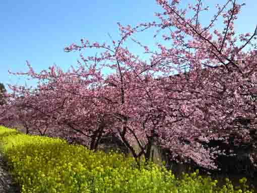 beautiful cherry trees in Yacho no Rakuen