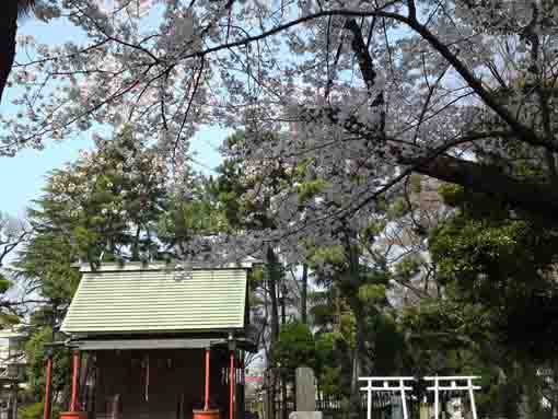 cherry blossoms in Ninoe Jinja Shrine