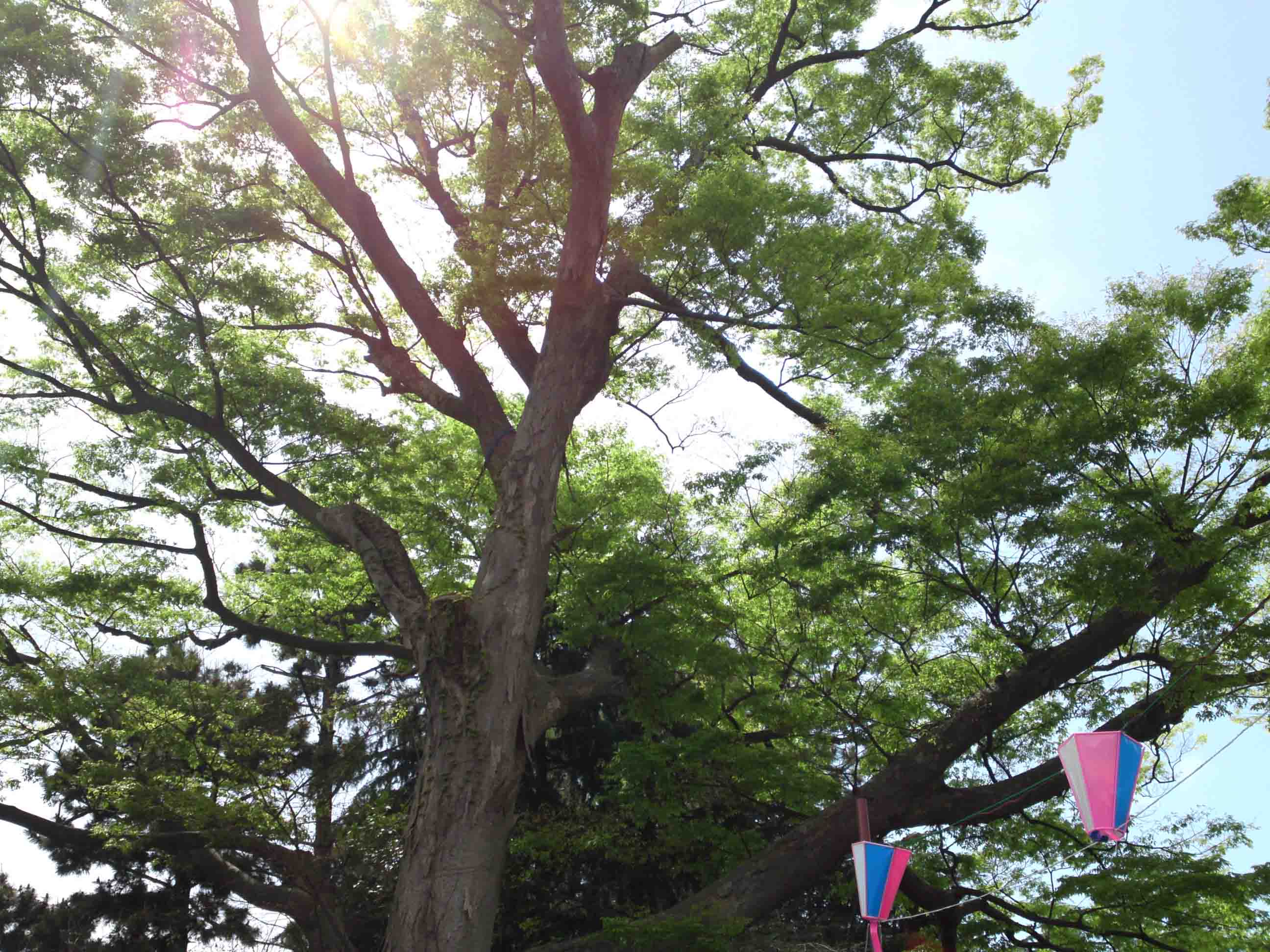 the zelkova tree in Ninoe Jinja Shrine
