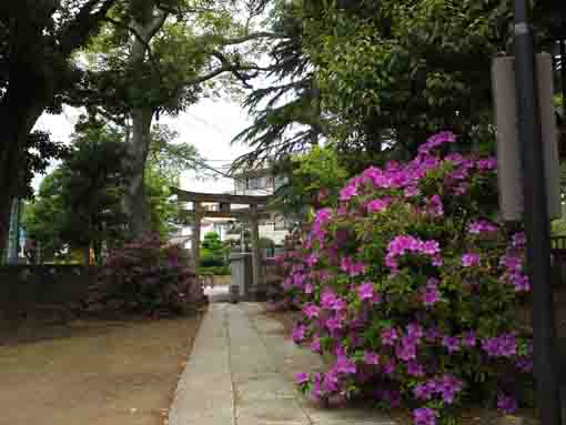 azaleas beside the main hall