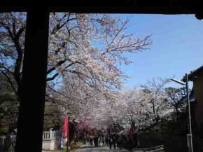 The Cherry Blossoms at Nio-mon