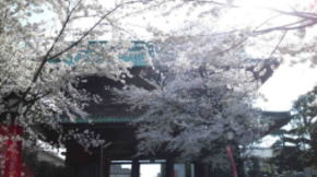 The Deva Gate with the cherry blossoms