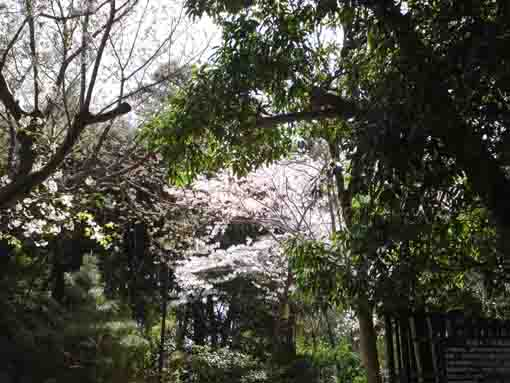 sakura in Nishifuna Yonchome Green Zone