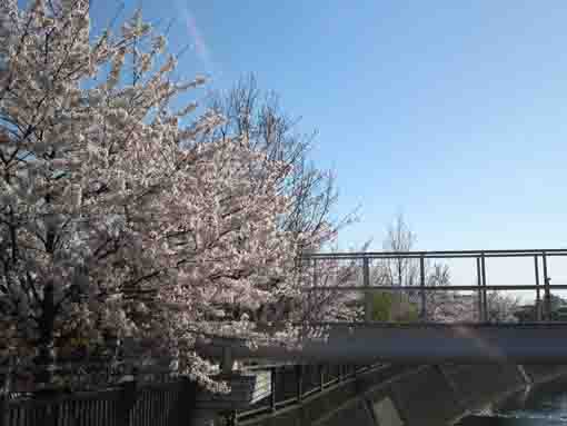 cherry blossoms at the gate