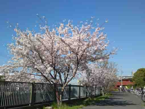 cherry trees at the gate