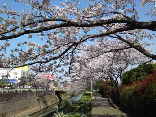 cherry blossoms over the path