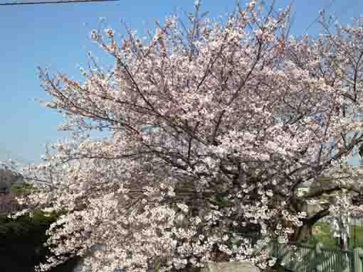 cherry trees near Nokyo
