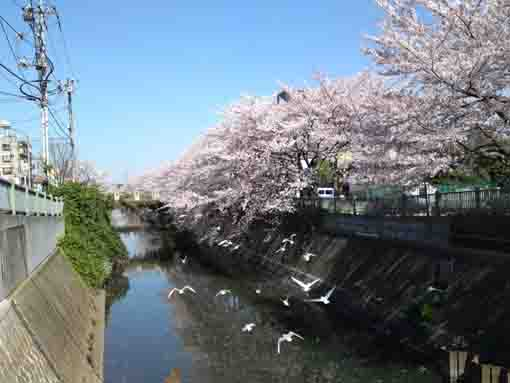 waterfowls and sakura in Oogashiwagawa
