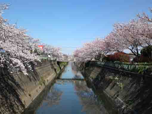 full blooming sakura along Oogashiwagawa