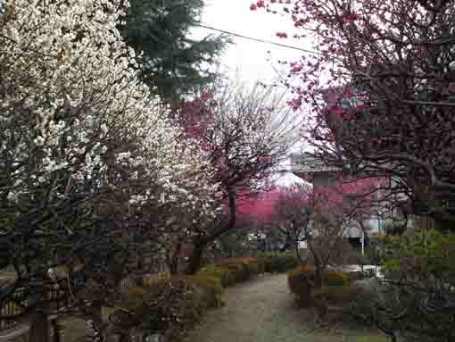 full blooming plum blossoms in Okunoin