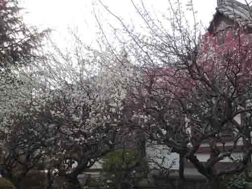 full blooming white ume blossoms