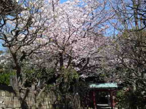 cherry blossoms by the red gate in Okunoin