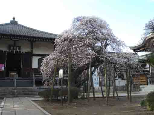 the plum tree in front of Aragyodo Hall
