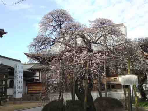 an old big plum tree in Onjuin Temple
