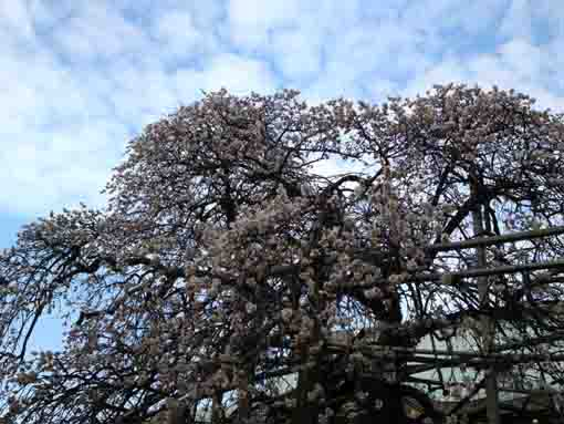 white plum blossoms in the sky