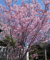 pink cherry blossoms beside the gate
