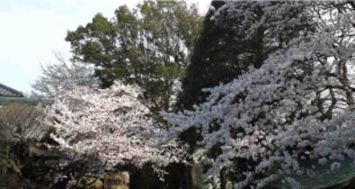 cherry trees in Onjuin Temple