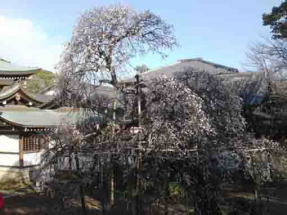 the ume tree in front of the main hall