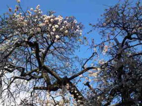 white ume blossoms and the blue sky