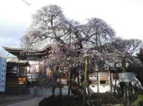 the old plum tree given by Maeda Family