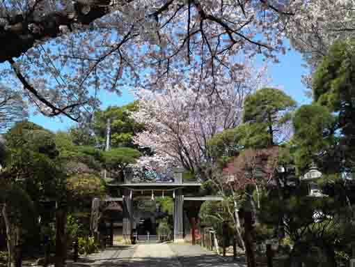 cherry trees in front of the gate