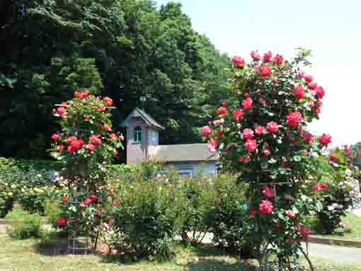 a wooden building and roses