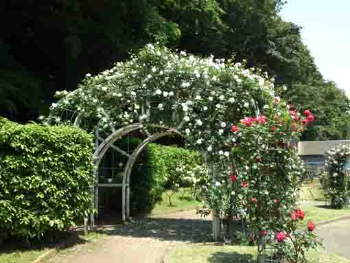 white roses on an arch