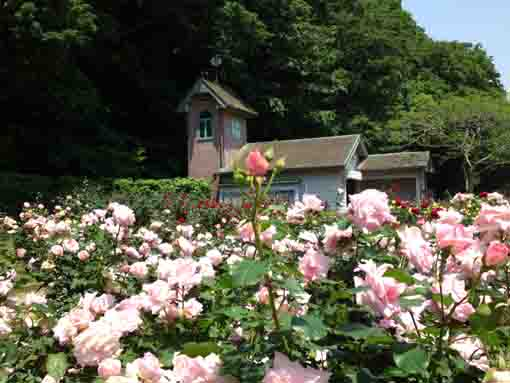 the rose garden in Oomachi